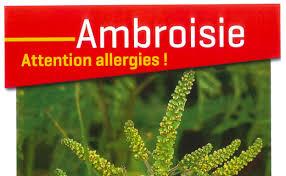Tout savoir sur l'ambroisie et son pollen allergisant