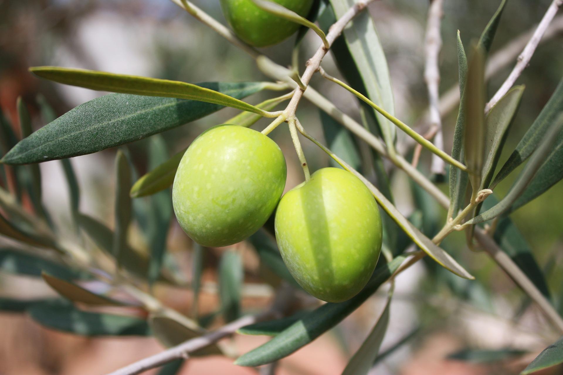 Confinement: récolte des olives autorisée pour les particuliers